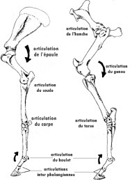 articulations du cheval